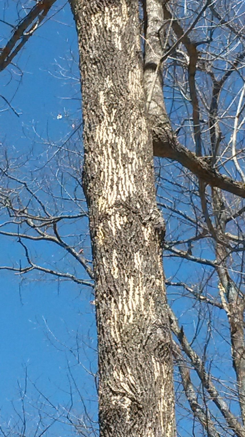 woodpecker damage